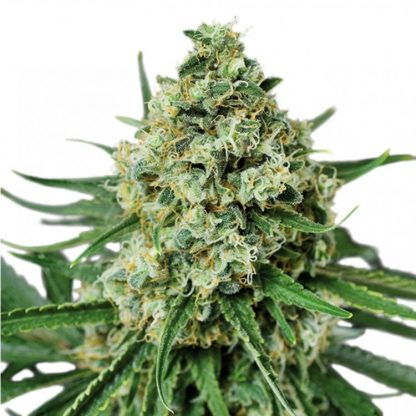 AMS SUPREME FEMINIZED 20 seeds